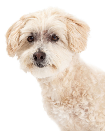 poodle mix: Beautiful closeup of a Maltese and Poodle Mix Dog looking towards the side.