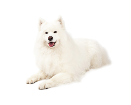 laying forward: A beautiful Samoyed Dog laying at an angle while looking forward.  Mouth is open.