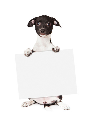 A cute little black and white mixed breed puppy sitting up and holding a blank sign while looking at the camera. Isolated on a white background.