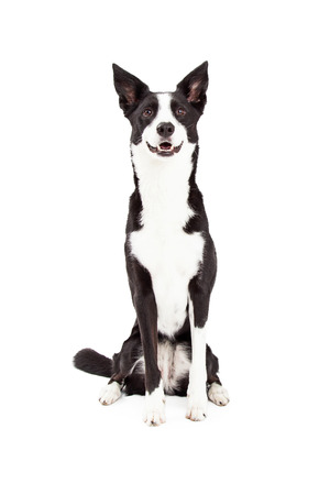 An attentive Border Collie Mix Breed Dog sitting while looking forward.