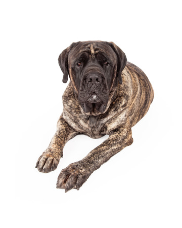 brindle: A beautiful big English Mastiff dog with a brindle coat laying down and looking forward with a serious expression Stock Photo