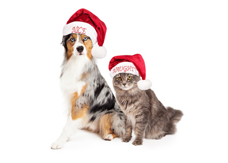 naughty or nice: A pretty Australian Shepherd dog with a merle coat wearing a nice Santa hat sitting next to a domestic medium hair tabby cat wearing a naughty Santa hat. Isolated on white. Stock Photo