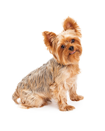 Yorkshire Terrier: A hungry looking Yorkshire Terrier Puppy sitting while looking into the camera.
