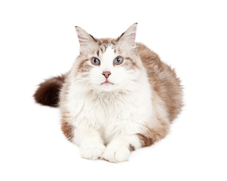 laying forward: A gorgeous Ragdoll Cat laying with outstretched paws while facing forward.