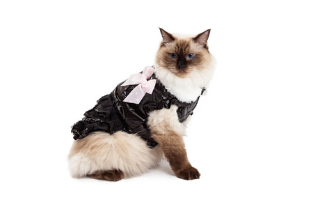 ragdoll: A regal looking Ragdoll Cat sitting sideways and wearing a modern brown dress with a pink bow Stock Photo