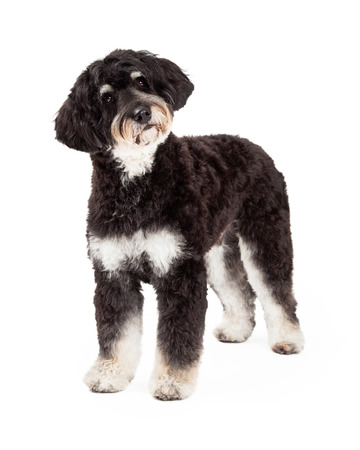 poodle mix: A curious Poodle Mix Dog standing at an angle while looking off to the side.