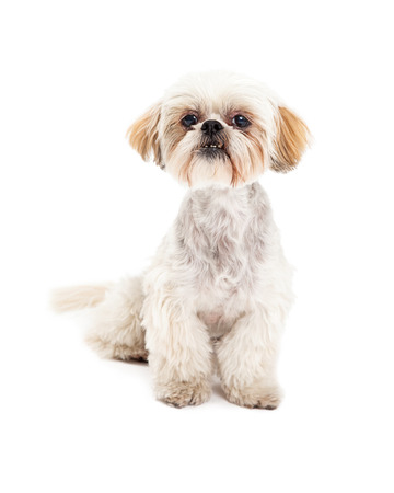 poodle mix: A cute Maltese and Poodle Mix Dog sitting while looking into the camera. Stock Photo