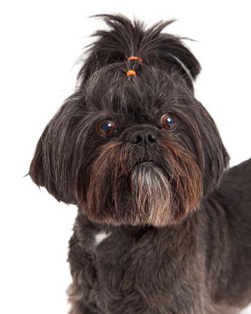 lapdog: A very cute Mixed Breed Small Dog headshot.