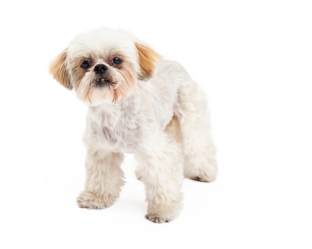 poodle mix: A cute Poodle and Maltese Mix Breed Dog standing while looking forward.