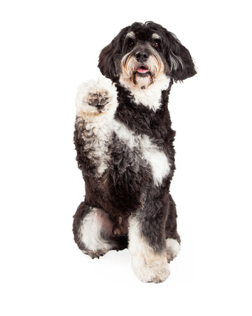 poodle mix: A cute Poodle Mix Breed Dog extending paw for a shake. Mouth is open.