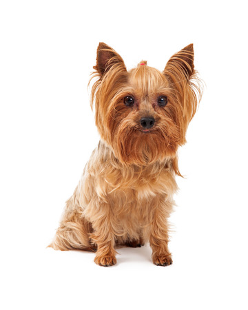 miniature collie: A cute Yorkshire Terrier Dog sitting while looking directly into the camera.
