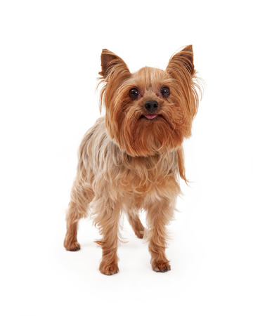 miniature collie: A cute Yorkshire Terrier Dog stands with tongue sticking out. Stock Photo