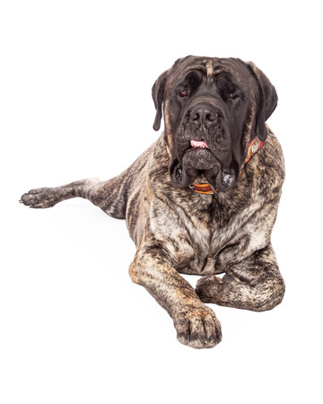 laying forward: A beautiful big English Mastiff dog with a brindle coat laying down and looking forward with a serious expression and tongue out slightly Stock Photo