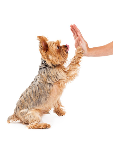 licking in isolated: A friendly Yorkshire Terrier Puppy extending its paw for a shake with a human hand.