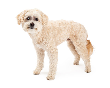 poodle mix: A funny and curious Maltese and Poodle Mix Dog standing while looking into the camera.