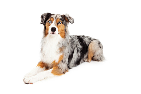 laying forward: A gorgeous Australian Shepherd laying at an angle looking forward into the camera.