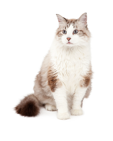 ragdoll: A gorgeous Ragdoll Cat sitting while looking off to the side.
