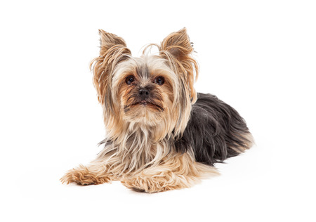 laying forward: Gorgeous Yorkshire Terrier dog laying at an angle while looking forward.