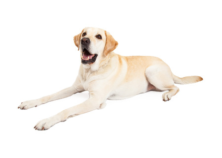 Side view of a cute and happy yellow Labrador Retriever dog laying down