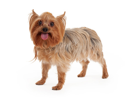 miniature collie: A very happy Yorkshire Terrier Dog standing with mouth open and tongue sticking out.
