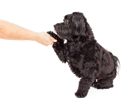 A gorgeous Havanese Dog sitting with side to the camera.  The dog is preforming paw shake with human hand and arm in the image. Imagens