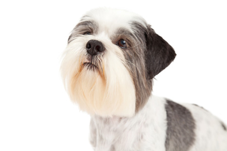 An adorable head shot of a Lhasa Apso Dog looking up. photo