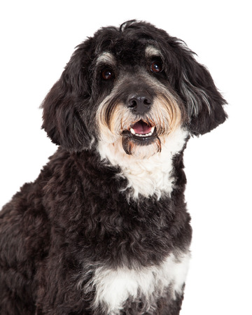 lapdog: Head shot of Poodle Mix Breed Dog looking into the camera. Stock Photo