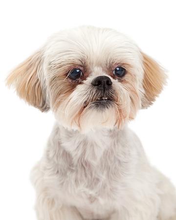 poodle mix: Stunning headshot of Maltese and Poodle Dog Mix. Stock Photo