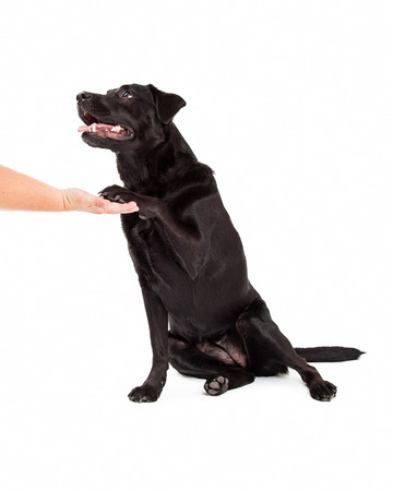 extends: A Labrador Retriever Dog extends paw for a shake to a human hand.  Mouth is open.