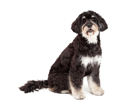 poodle mix: An obedient Poodle Mix Breed Dog sitting while looking directly into the camera.  Mouth is open.