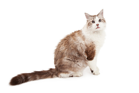ragdoll: A beautiful Ragdoll Cat sitting with entire side of body in view for the camera.