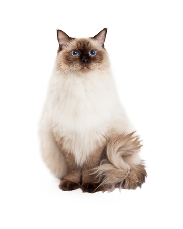 A regal looking Ragdoll Cat sitting and looking into the camera. Фото со стока