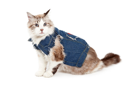 ragdoll: A fashionable Ragdoll Cat wearing a jean jacket while sitting at an angle. Stock Photo