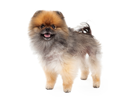 An adorable Pomeranian Dog standing at an angle while smiling at the camera.