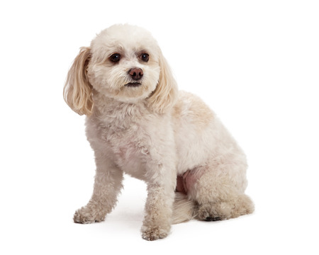 poodle mix: An attentive Maltese And Poodle Mix Breed Dog sitting while looking off to the side. Stock Photo