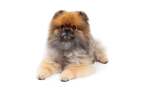 laying forward: An attentive Pomeranian Dog laying while looking forward.