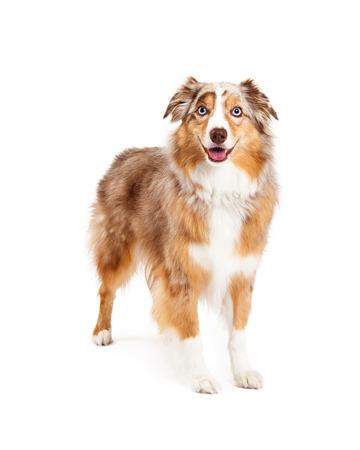 オーストラリアン シェパードの犬を楽しみにしながら立っています。