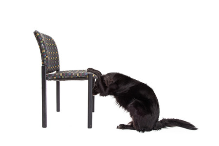 bowing head: Border Collie Mix Breed Dog with paws on a chair bowing his head into a prayer position Stock Photo