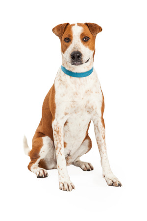 dog collar: A friendly looking Australian Cattle Mix Breed Dog sitting at an angle with looking forward. Stock Photo