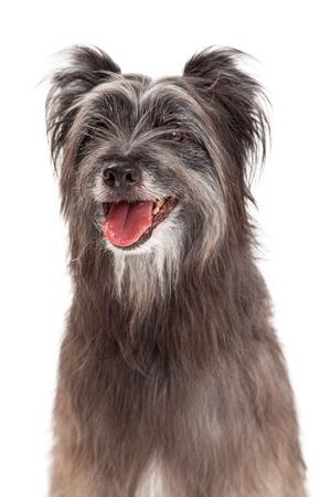 pyrenean: Un primo piano di un bellissimo cane pastore dei Pirenei con la bocca aperta.