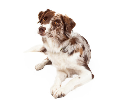 head tilted: A curious Border Collie Dog laying with its head tilted and looking to the side.
