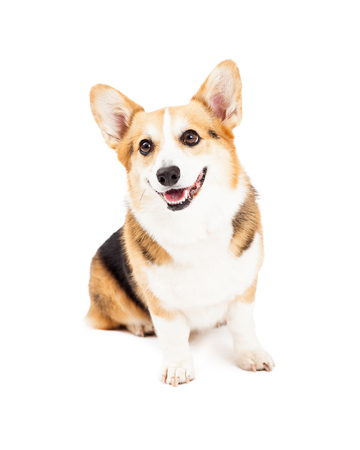 A very cute Pembroke Welsh Corgi Dog sitting while looking off to the side. Reklamní fotografie