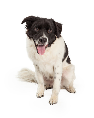medium length: An attentive Border Collie Mix Breed Dog sitting while looking forward. Mouth is open and tongue is out. Stock Photo