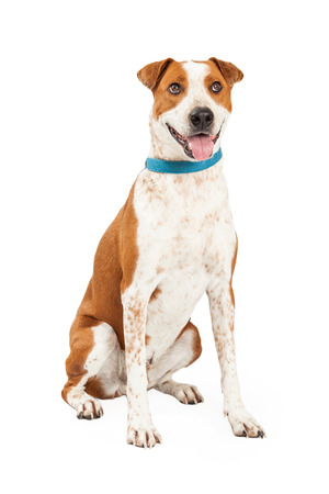 short hair dog: Happy looking Australian Cattle Mix Breed Dog sitting while looking into the camera with an open mouth. Stock Photo