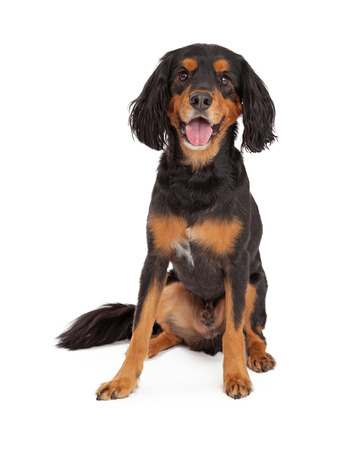 Happy Gordon Setter Mix Breed Dog sitting with open mouth. Stock Photo - 34202442