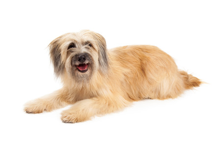 pyrenean: Happy Pyrenean Shepherd Dog laying at an angle with open mouth. Stock Photo