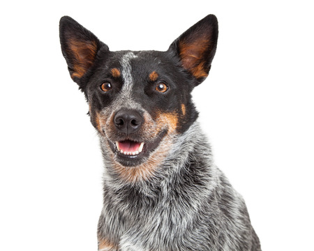 카메라를 직접보고있는 동안 웃 고 호주 소 강아지의 머리 쐈 어. 스톡 콘텐츠