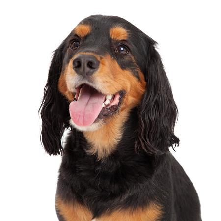 Gordon Setter Mix Breed Dog의 헤드 샷. 입안에 혀가 달려있어.