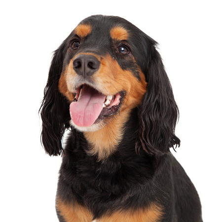Head Shot of Gordon Setter Mix Breed Dog.  Mouth is open with tongue hanging out.