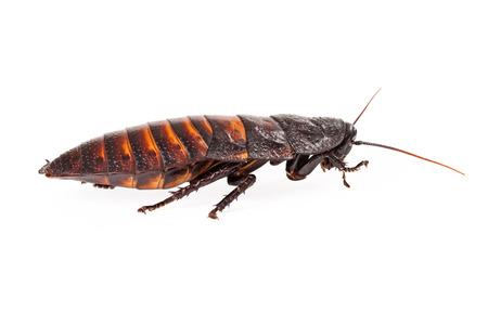 hissing: Profilo di un sibilo Madagascar scarafaggio